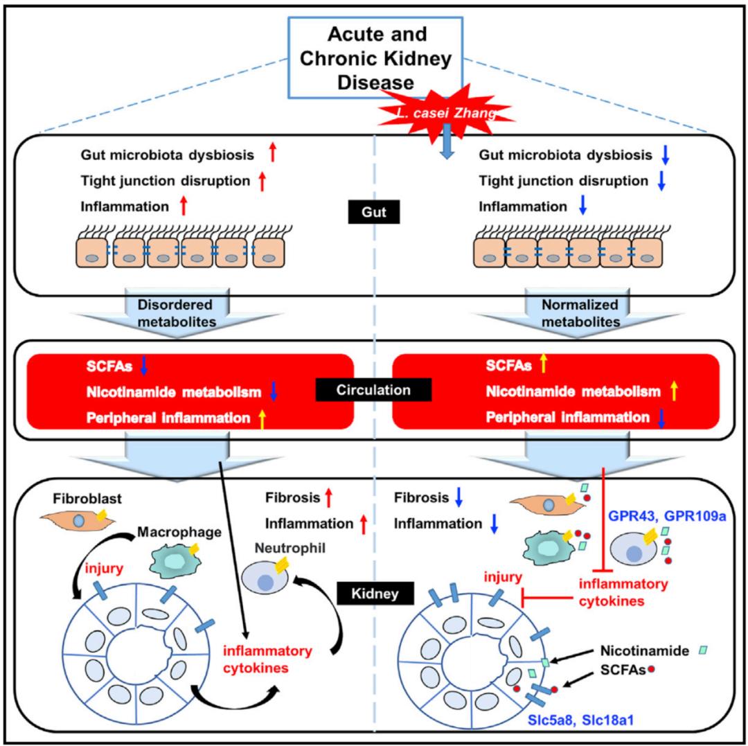 Cell子刊:益生菌可�p�急性和慢性�I�K疾病�M展